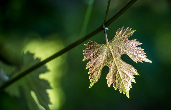 LaCollinaDiDioniso-leaf